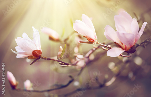 Foto op Plexiglas Magnolia Spring magnolia blossom background. Beautiful nature scene with blooming magnolia