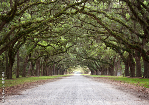 Fotomural A Mossy Live Oak Tree Tunnel