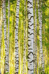 Naklejkasummer in sunny birch forest