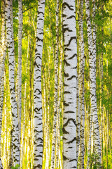 Naklejka Na lodówkę summer in sunny birch forest