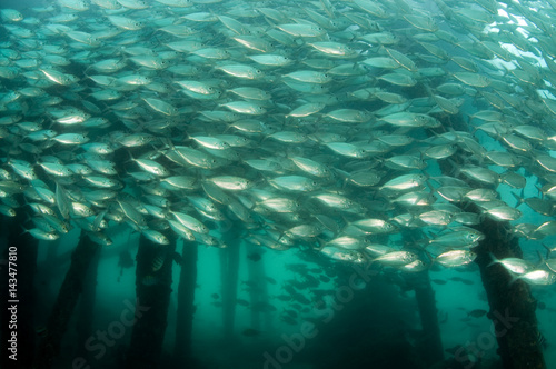 Valokuva  Mackerel scad, Decapterus russelli, school under a jetty, Raja Ampat Indonesia