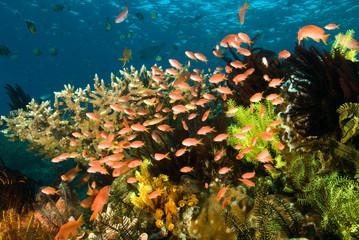 Fototapeta na wymiar Reef scenic with scalefin anthiases, Pseudanthias squamipinnis, Komodo National Park, Indonesia.