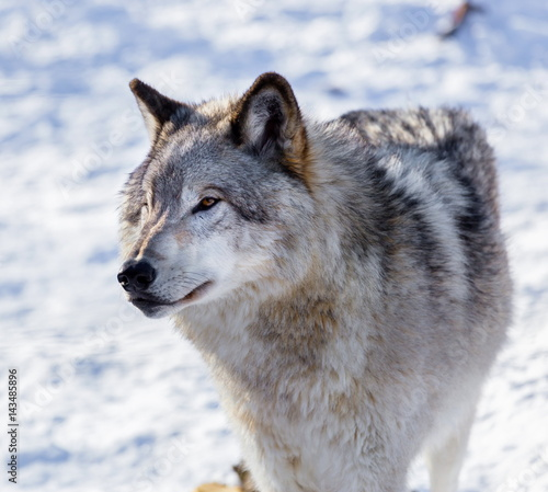 Canvas Prints Wolf Arctic wolf, pictured in mid winter, north Quebec, Canada.