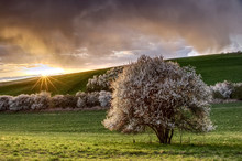 Blooming Wild Plum Tree In The Countryside During The Sunset, Landscape Of Farmland In Springtime. Sunbeams Penetrate Through Dramatic Clouds.