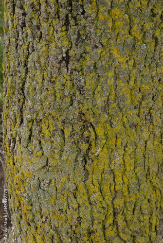 Ulmus Americana, American Elm Leaves and bark Close Up