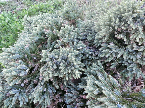 Evergreen Shrub in spring