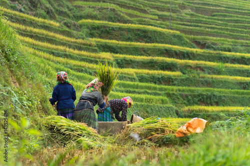 Fotografie, Obraz  Hmong women harvesting rice on paddy terrace in Mu Cang Chai district, Vietnam