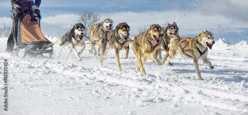 Leinwand Poster Huskies in vollem Lauf beim Schlittenhunderennen