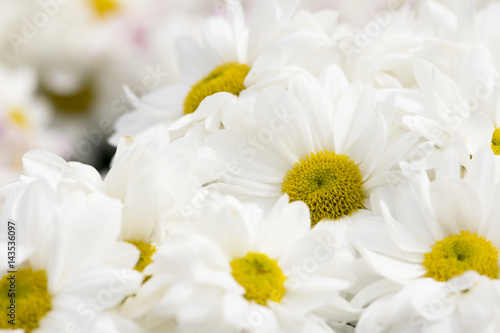 Beautiful White Chrysanthemum Flowers Background Buy This Stock