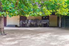 Zebra Standing Under Trees In ...