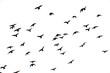 Free. Flight of birds in the wild. Silhouette. Freedom