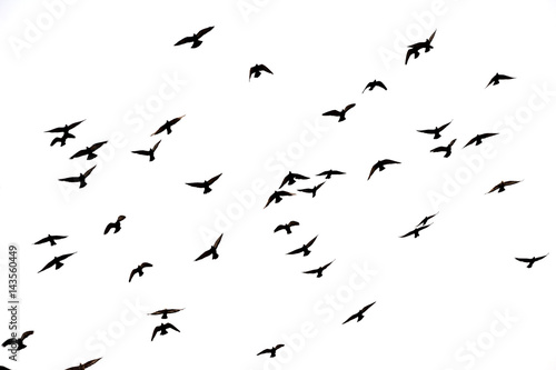 Free. Flight of birds in the wild. Silhouette.  Freedom Canvas Print