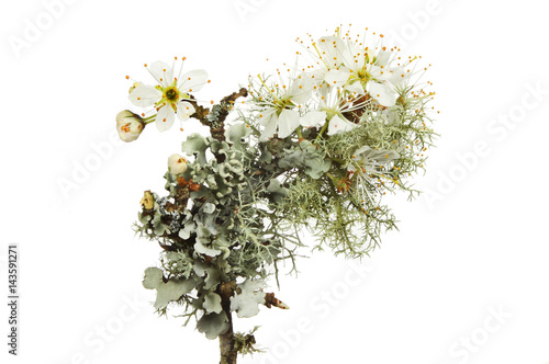 Photo  Blackthorn blossom and lichen