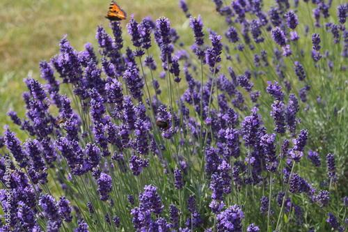 Żółty motyl na lawendzie - 143591837