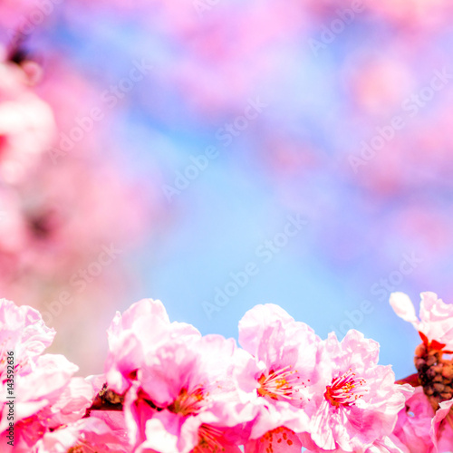 Poster Fleur trees pink blossoming, spring time