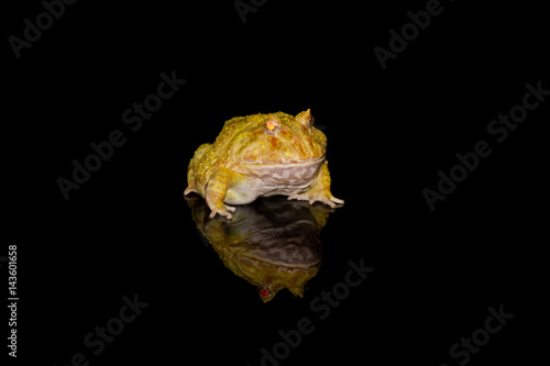 Fotografie, Obraz  Pacman Frog