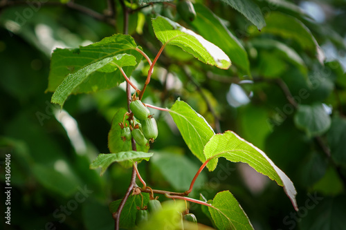 actinidia frutages on the branch Canvas Print