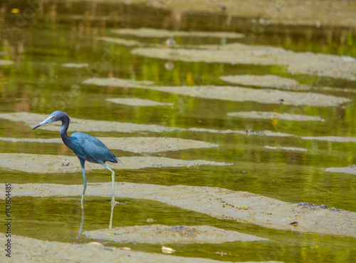 A Little Blue Heron walking through tide pools looking for