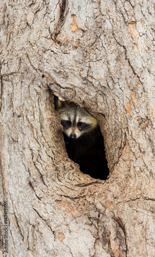 Bandit-masked raccoons are a familiar sight just about