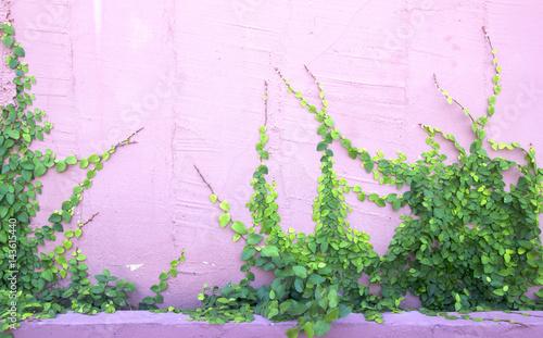 Valokuva Green Creeper Plant on the Wall