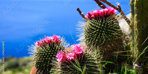 Photo sur Toile Cactus Blooming cactus on blue background
