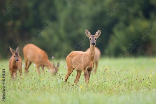 Staande foto Ree Roe-deer with family in the wild