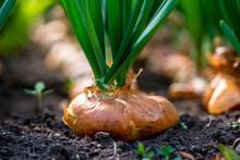 Close-up Of Onion Plantation I...