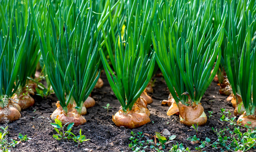 Photo  close-up of onion plantation in a hothouse - selective focus