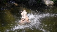 White Tiger Catching Meat Duri...