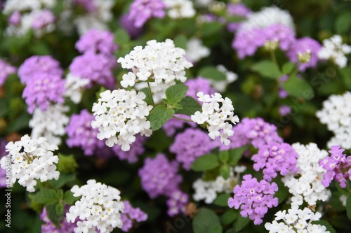 Small White Flowers On Blurred Background Of Purple And White