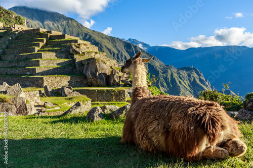 Photo  Lama sitting on the grass and looking at terrace of Machu Picchu