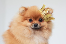 Portrait Of A Pomeranian Spitz With A Crown On Head.