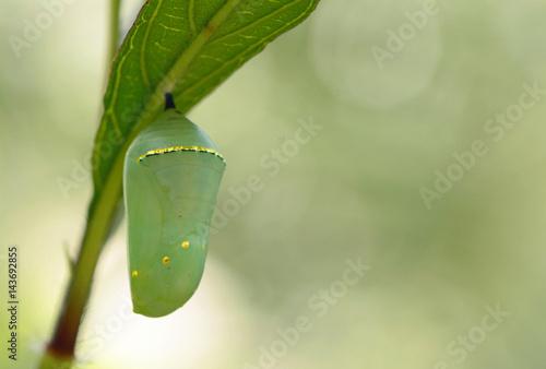 Leinwand Poster Monarch butterfly (Dannaus plexippus) chrysalis, beautiful cocoon