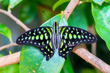 The Tailed Jay, Is A Predomina...