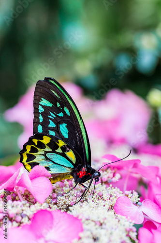 Photo The Cairns birdwing, is a species of birdwing butterfly endemic to north-eastern Australia, and is Australia's largest endemic butterfly species