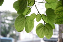 Phanera Variegata Green Leaves...