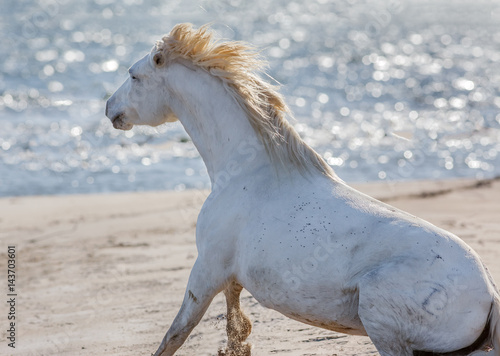 Fotografia, Obraz  White Camargue Horse in the nature reserve in the Parc Regional de Camargue - Pr