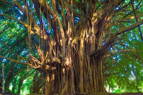 Giant banyan tree Wallpaper Mural