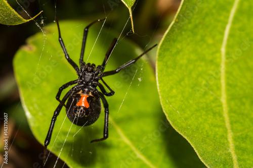 Black Widow Spider Wallpaper Mural
