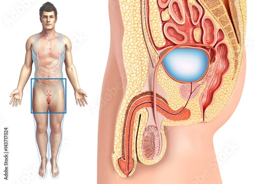 Male urinary system, illustration - Buy this stock photo and explore ...