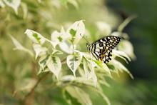 Papilio Demoleus. Butterfly Si...