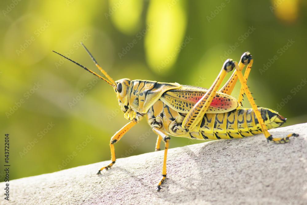 Fotografie, Obraz Eastern Lubber Grasshopper