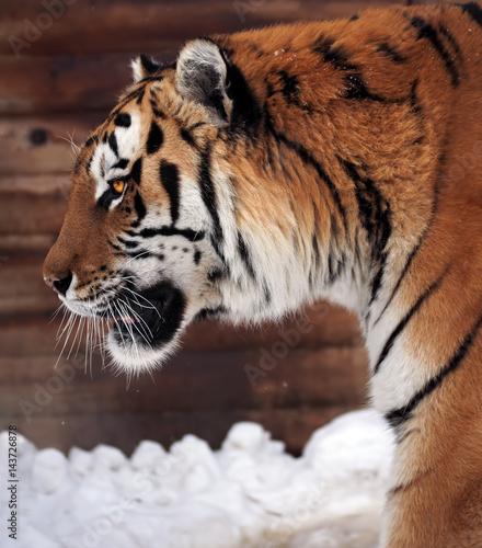 Foto auf AluDibond Tiger Tiger's profile close up