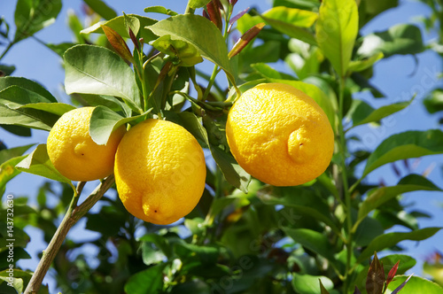 Lemon on the tree in