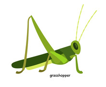 Green Grasshopper  - Arthropod...