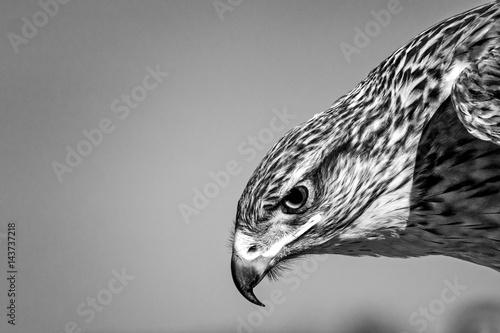 Photo  Ferruginous Hawk Head Portrait - B&W