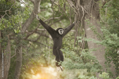 Fotomural A white-handed gibbon (Hylobates lar) hunging on tree.