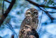 Spotted Owl Face