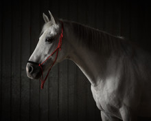 Portrait Of A Grey Horse On A Dark Background Isolated
