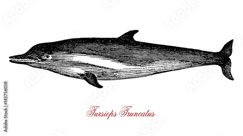 Fotografie, Obraz  The Tursiops truncatus (bottlenose dolphin) is the most well-known species from the family Delphinidae